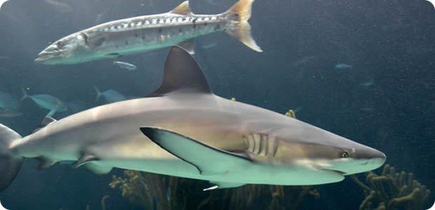 r Aquarium-Shark Bermuda