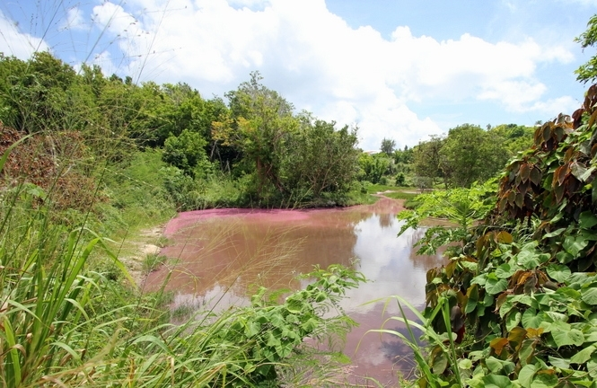Seymour-Pond-Nature-Reserve-Bermuda bloom pink (4)