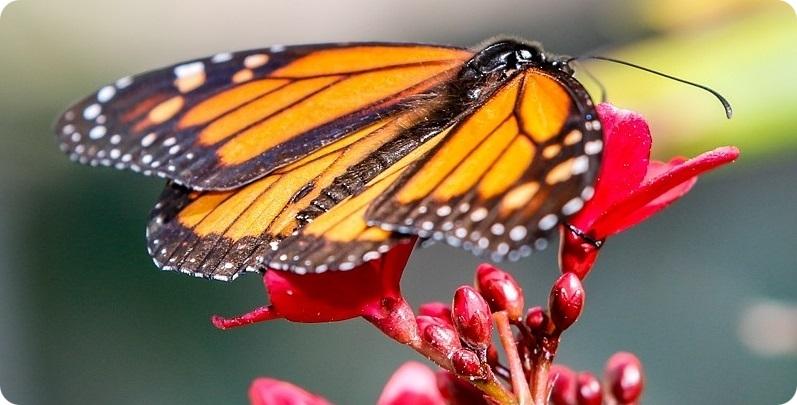 Bermuda butterfly on flower