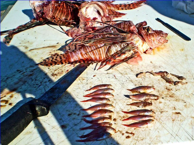 Lionfish gut contents